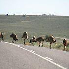 Road Block, Flinders Ranges, South Australia. by elphonline