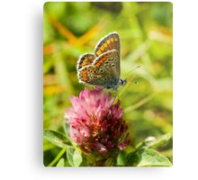 Brown Argus Butterfly Metal Print