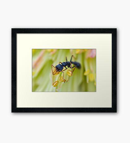 Ant on a Red Hot Poker Framed Print