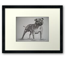 Staffordshire Bull Terrier in Pencil Framed Print