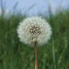 Spring Dandelion by emele