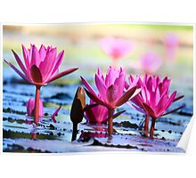 Anderson Park Waterlillies Poster