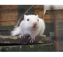 White Chipmunk. Photographic Print