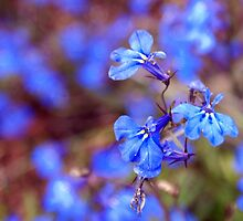 The Blue Lobelia by sternbergimages