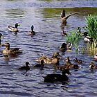 Large Groups of Ducks Near Shore by James Formo