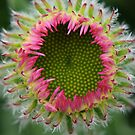 Aster Alpinus  by DIANE  FIFIELD