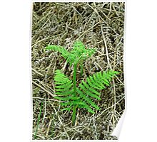 Emerging Fronds of Bracken Poster