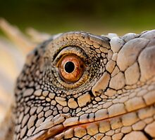 Iguana in Bonaire by Paul Lenharr II