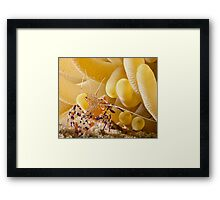 Anenome Shrimp Framed Print