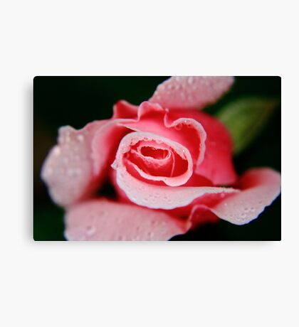 Pink Rose & Water Drops #1 Canvas Print