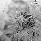 Dew on Dandelion B/W by rhian mountjoy