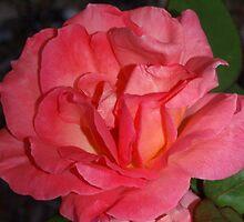 Full peach rose by ♥⊱ B. Randi Bailey