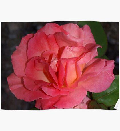 Full peach rose Poster