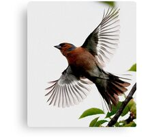 Flight Of The Chaffinch Canvas Print