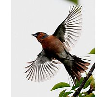 Flight Of The Chaffinch Photographic Print