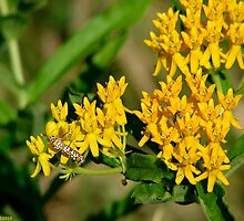 Yellow Butterfly Weed - Asclepias tuberosa by Lee Hiller