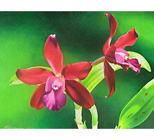 Red cattleya orchid Photographic Print