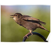 Juvenile Starling Poster