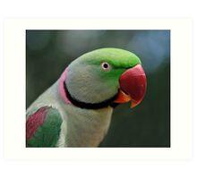 Alexandrine Parrot Art Print