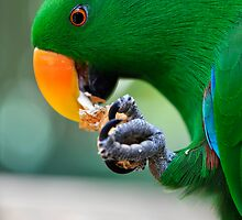 Have a bite - Eclectus parrot by Jenny Dean