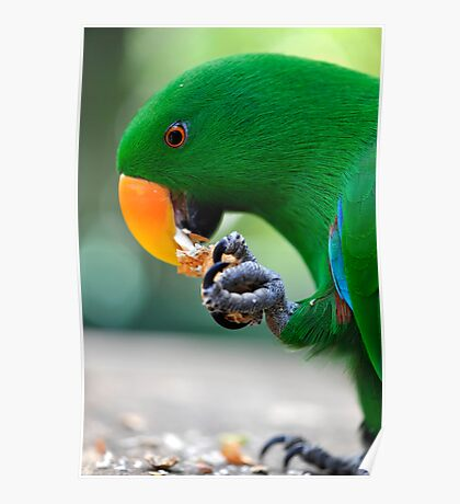 Have a bite - Eclectus parrot Poster