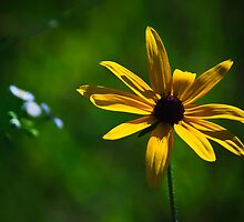 Black-Eyed Susan by Phillip M. Burrow
