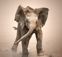 Elephant Calf mock charging by Johan Swanepoel