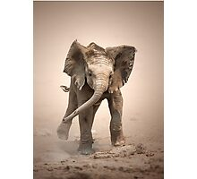 Elephant Calf mock charging Photographic Print