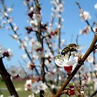 Bee landing on wild blooming apricot. by Minichka