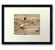Ring Necked Pheasant: One of My Best Bird Shots Ever Framed Print