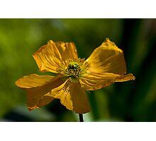 Yellow Poppy Photographic Print