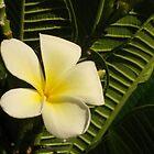 Yellow Plumeria #2 by jtalia