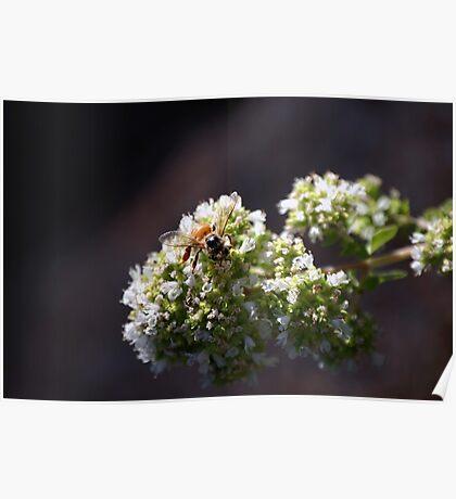 Bee On Oregano Poster