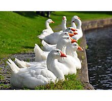 Geese in a row Photographic Print