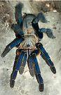 Cobalt Blue Tarantula by Kawka