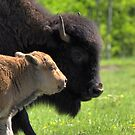 Ma Bison with Calf by JamesA1
