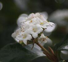 Elderberry, whine by bridgenie