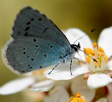 Holly Blue by Ian Sanders