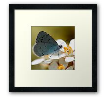 Holly Blue Framed Print