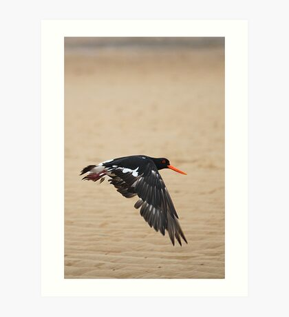 Pied Oystercatcher - In flight Art Print