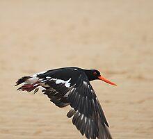 Pied Oystercatcher - In flight by EnviroKey