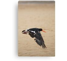 Pied Oystercatcher - In flight Canvas Print