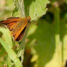 Skipper by Durotriges