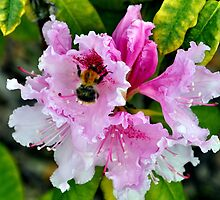 Bee Kissed  by Shubd