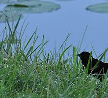 Blackbird by the lake-panorama crop by mltrue