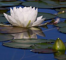 Water Lily by TheSmittenImage