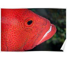 Red fish face  Poster