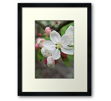 White blossom and pink buds - 2011 Framed Print