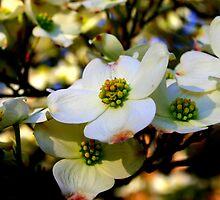 Cornus florida by Brent McMurry