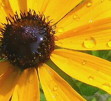 Black Eyed Susan Macro by barnsis